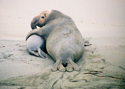 elephant seal bull and pup--Piedras Blancas seal rookery, Cambria, CA