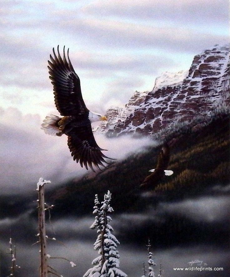 """As the bald eagle gets higher in altitude the snow caps on the mountains start to show. This print is available unframed in size 7.25""""x9"""""""