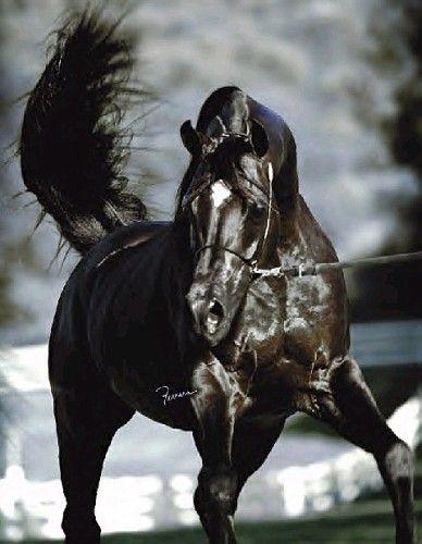 ATA Bey Starr (ATA Echo Bey x Kirscha x Fawor) 1995 Polish Black stallion.