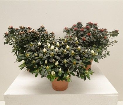 ROD. AZALEA CHIOMA 30+  Florpagano di Antonio Pagano (piante e fiori) www.florpagano.com