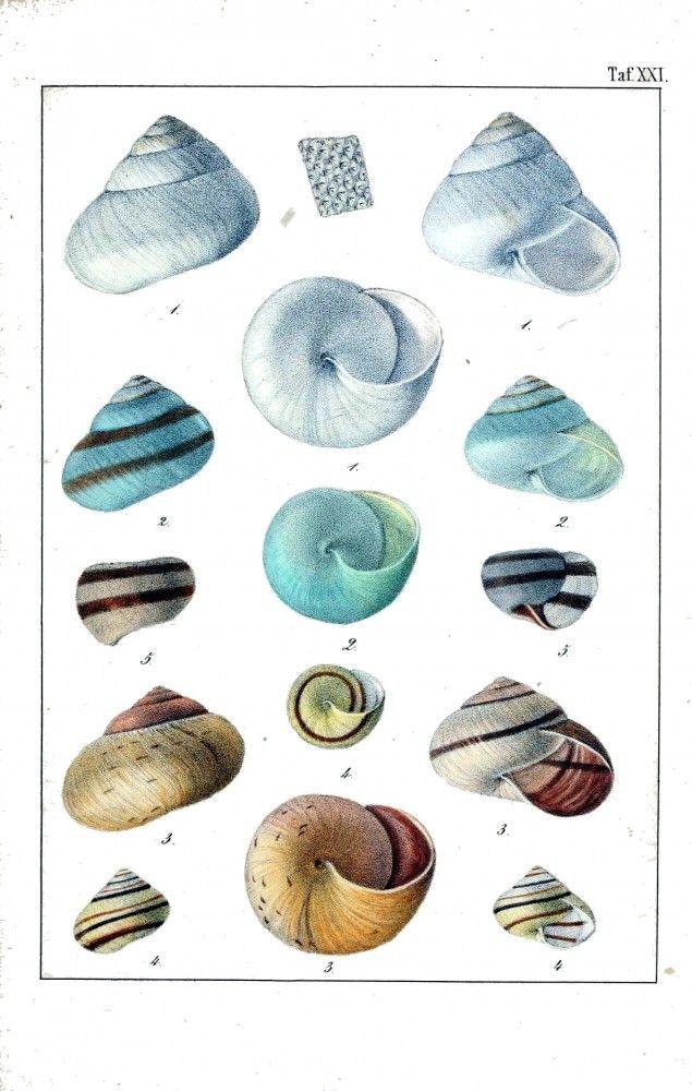 Animal - Sea shells and related - 6   Vintage Printable