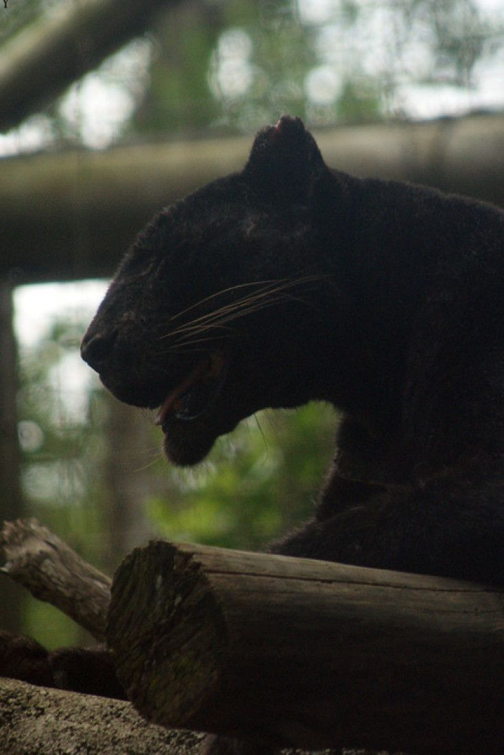It Turns Out Black Leopards Actually Have Spots