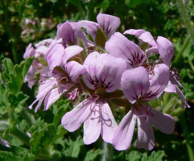 Itır ÇiçekleriKurutulmuş bitkiden yapılan çay, ishal ve bağırsak iltihabında tavsiye edilmektedir. Yazının Devamı: Itır Çiçekleri   Bitkiblog.com Follow us: @bitkiblog on Twitter   Bitkiblog on Facebook