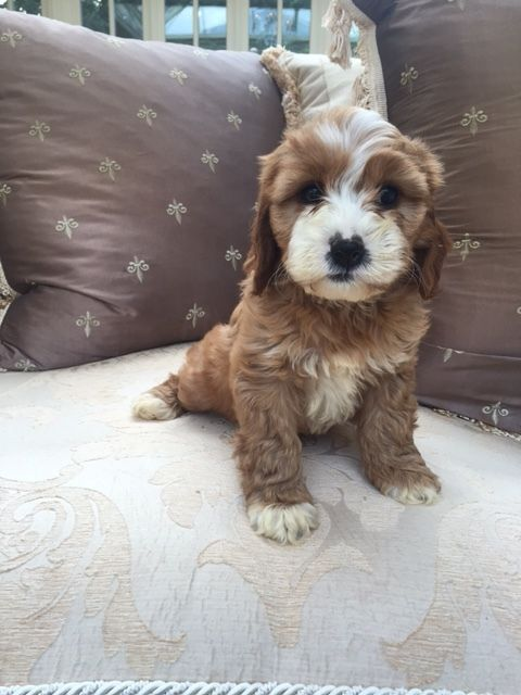 Cavapoos for Sale in the UK Buy A Cavapoo — Raffles
