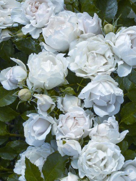 Pour sa 6e édition, le Grand Prix de la Rose SNHF a récompensé les plus beaux rosiers qui ont pour particularité de s'adapter à tous les milieux. Voici les cinq variétés distinguées, à planter absolument pour un jardin resplendissant.