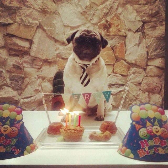Percy cumplió años hoy y se lo celebraron con una torta de pollo y zanahoria de @chachayelgalgo !  Que cumplas muchos más, hermoso!! #perrofeliz #chachayelgalgo #pasteleriacanina #paletasparaperros #pug #perros #mascotas #amorperruno #perrosaludable #cumpleañosmascota #cali #calico