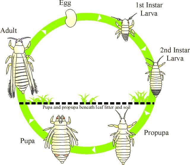 17 Best Ideas About Lice Life Cycle On Pinterest Butterfly Stages Stages Of A Butterfly And