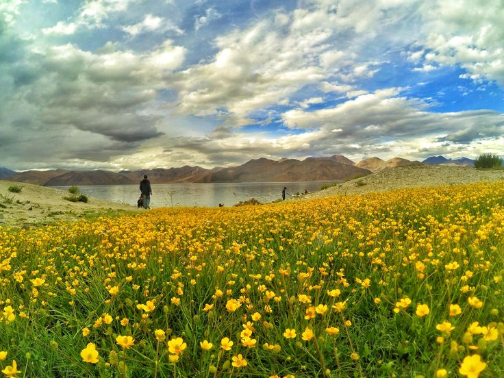 When Flowers blooms at 14270 ft - Pangong Tso highest Salt water lake in the world.