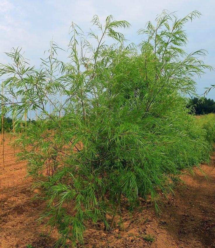 Ива Шверина улучшенная Быстрорастущее эффектное дерево. Можно выращивать как в форме одноствольного (высотой до 10-14 м с узкопирамидальной кроной), так и многоствольного дерева (высотой до 6-8 м с широкой раскидистой кроной).