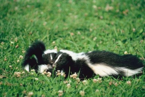 While you may not see skunks invading your property, you'll certainly be able to smell them. Startled skunks spray a vile, pungent liquid at potential attackers, and the scent...