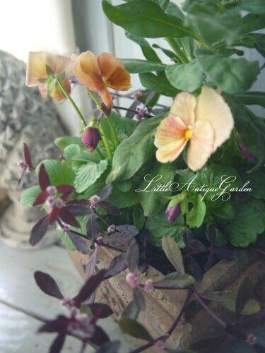 ビオラ寄せ植え #シャビー#アンティーク#寄せ植え#シック#antique#garden#shabby