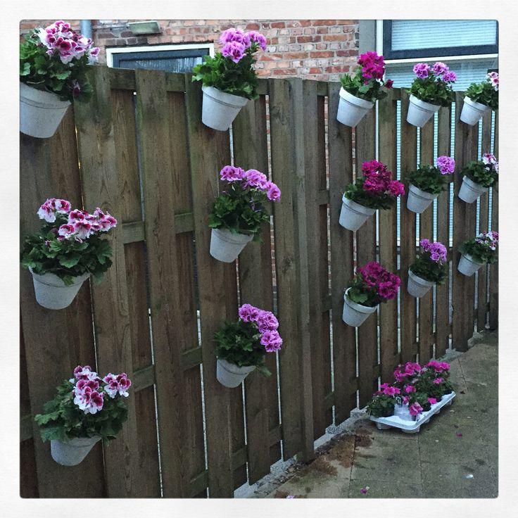 Nieuwe bloemen, nieuwe tuin! Witte kalkverf vs roze Franse geraniums.