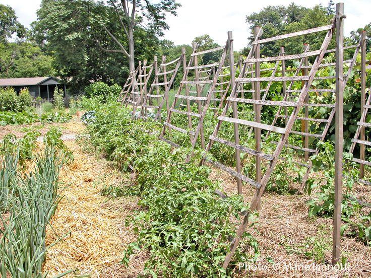 Trellising Tomatoes For Maximum Yield This Trellis Style