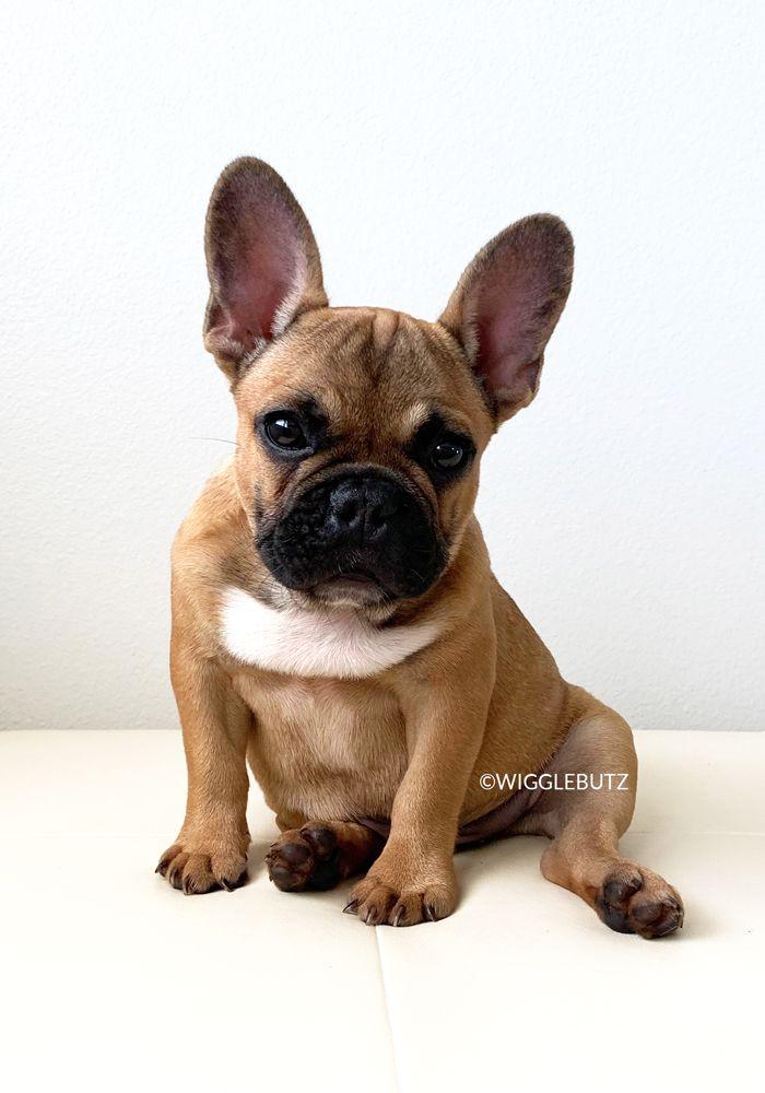 French Bulldog Puppies For Sale Bulldog Puppies French Bulldog