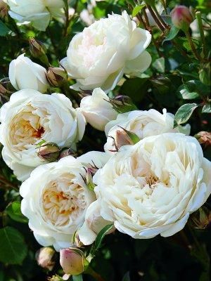 "Rosa 'Glamis Castle'  Named after the late Queen Mother's childhood home, Glamis Castle. Cream cup-shaped blooms are produced with continuity throughout the summer. With a traditional ""old rose"" scent this is a short, compact rose ideal for border or bedding."