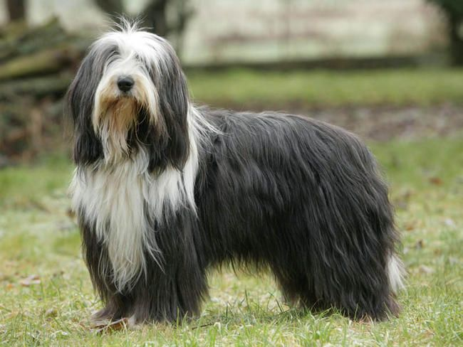 Photo chien Bearded Collie - 4775 - Wamiz
