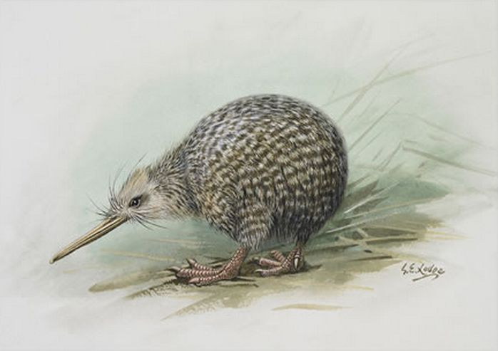 Little Spotted Kiwi - by George Lodge. Artprints available from www.imagevault.co.nz