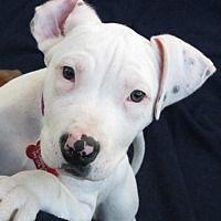 Lake Forest, California - American Staffordshire Terrier. Meet Caroline, a for adoption. https://www.adoptapet.com/pet/20825792-lake-forest-california-american-staffordshire-terrier