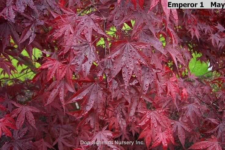 Acer palmatum Wolff/ Emperor 1;   Wholesale Nursery Supplies & Plant growers in Oregon   Nursery Guide