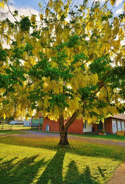 Cassia Flowering Tree-I'm a cinnamon tree, Yaya