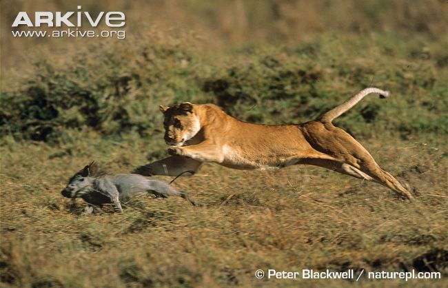African lioness hunting warthog