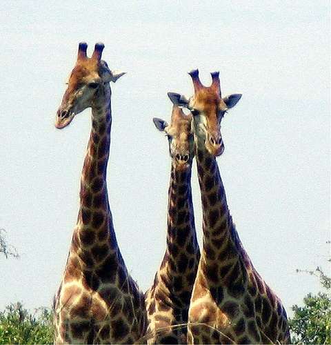 Three inquisitive giraffe in the Kruger Park