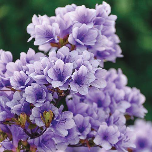 Dwarf & Low-Growing Shrubs: Purple Gem Hardy Azalea
