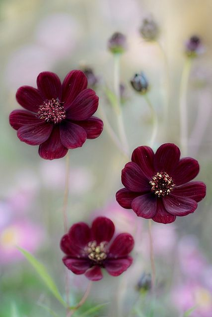 Chocolate Cosmos Flowers are wonderful, they actually smell of chocolate !!
