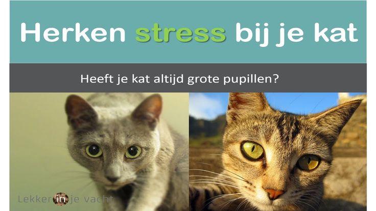 Stress bij katten herkennen   grote pupillen