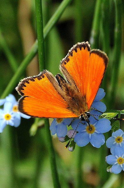 Austrian Butterfly