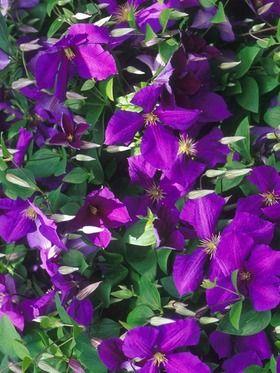33 best blue lavendar garden images on pinterest. Black Bedroom Furniture Sets. Home Design Ideas