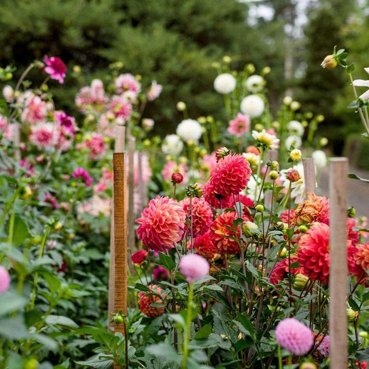 I'm a bit obsessed by @daniel_shipps pics of artist Lucy Culliton's garden, featured on TPH yesterday. These are some of Lucy's 'show-pony' dahlias. Just before we visited she'd won all the prizes at the local Bombala Show with 'em. What a woman!  Find out more about Lucy and her garden on TPH now. Link in profile ⚡️