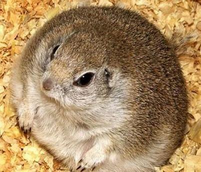 Fat Chipmunk