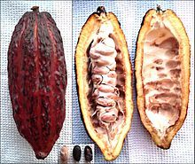 """""""Als Kakao oder Cacao (Aussprache: [kaˈkaʊ] oder [ˈkaka.oː]) bezeichnet man die Samen des Kakaobaumes (Kakaobohnen) sowie das daraus gewonnene Pulver. Ebenfalls so bezeichnet wird das aus Kakaopulver zubereitete Getränk, das oft unter Zugabe von Milch- und Zucker-Produkten hergestellt wird."""""""