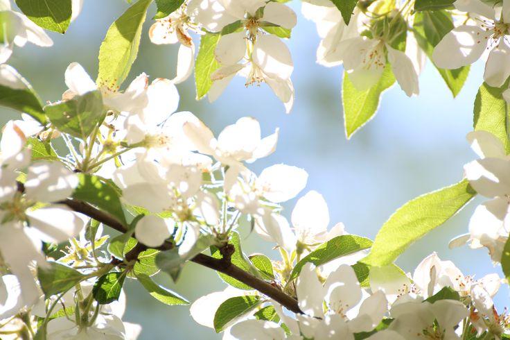 An apple tree blossoming in Eira, Helsinki, the capital of Finland. #helsinki #finland #inbloom #blossom #eira #appletree