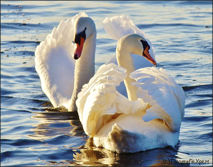 Swans in a show battle for a lady swan