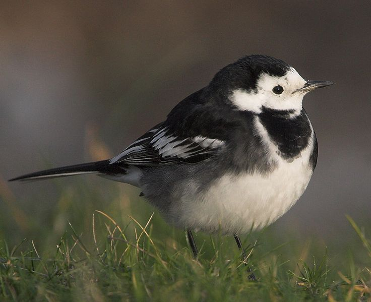 Pied Wagtail - songbird