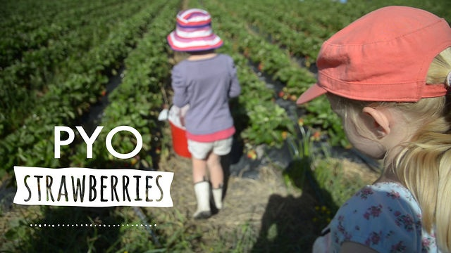 Pick your own strawberries by Everywhere you go.     Boxing Day here in New Zealand heralds the start of the pick your own strawberries season. We headed out to Kumeu in Auckland's west to harvest the freshest, juiciest sun-warmed strawberries.