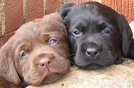 One brown lab and one black lab