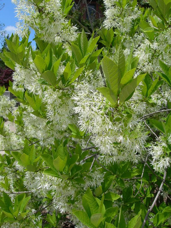 The Fringe tree is native to Eastern North America, is a rather versatile plant, because it can be either big or small. The tree is known for its peculiar cloudy white flowers. The tree blooms in late spring, that later in fall turn into clusters of blue-purple fruits. The height of the fringe tree can be up to 20 feet tall.