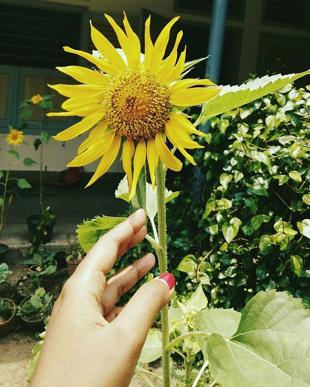 Dear Ajeng, sorry for borrow your #sunflower It looks amazing and I'm in love with it 😍😂