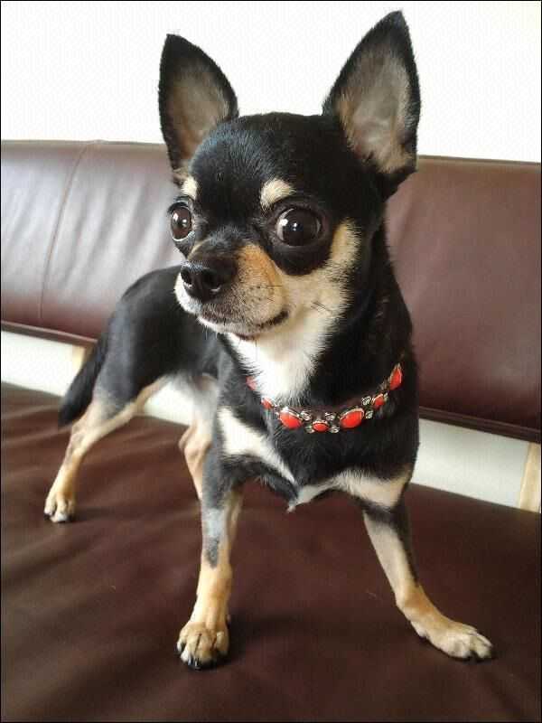 short coat chihuahua 100 best images about short hair chihuahua dogs on 4960