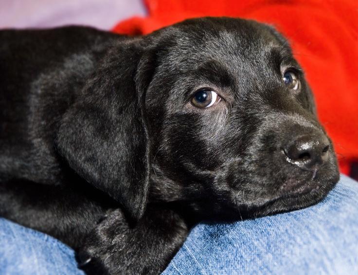 Adorable Black Labrador Black Pearl Pups... Pinterest