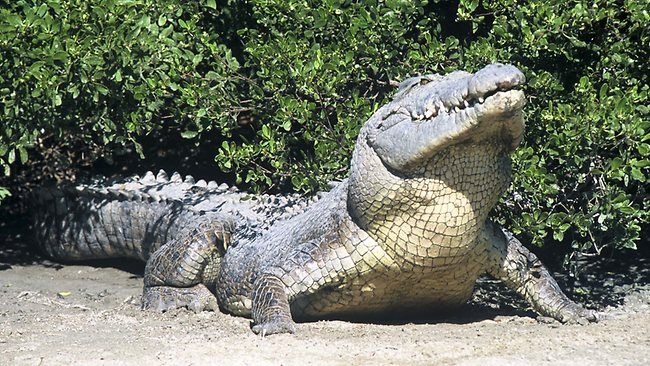 Saltwater Crocodile Attacks | saltwater or estuarine crocodile. Picture: Kerry Trapnell Source ...