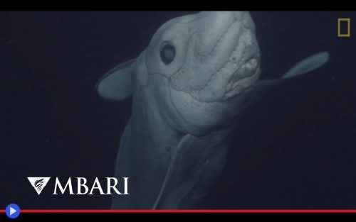 Uno sguardo inquietante allo squalo fantasma Fluttuando tra l'ombra, nelle più remote profondità marine, esso si aggira alla ricerca di qualcosa. Esso è inconsapevole del mondo di superficie. Eppure, come la creatura del Dr. Frankenstein a cui  #pesci #animali #squali #oceano #mare