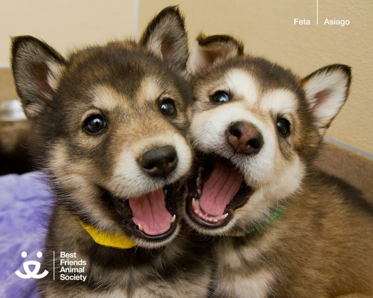Cute Husky Puppies! I love how dogs expressions can be so animated!