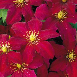 Simply the best red Clematis we know, 'Niobe' is floriferous and blooms over a long summer season on compact, manageable 8- to 10-foot vines.