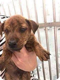 Valley Stream, NY - Corgi/Bulldog Mix. Meet Harry, a puppy for adoption. http://www.adoptapet.com/pet/17077175-valley-stream-new-york-corgi-mix