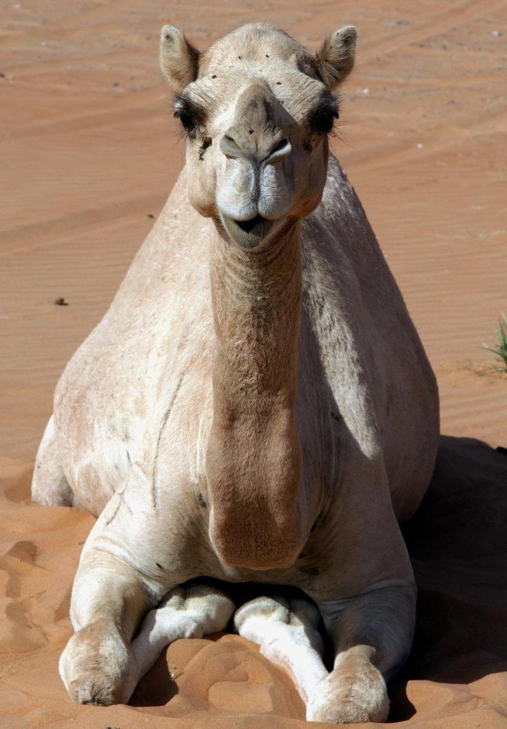 Camel resting. United Arab Emirates