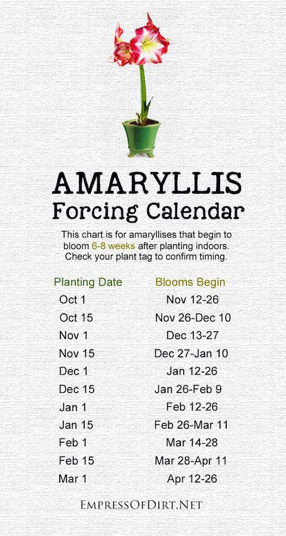 Amaryllis Forcing Calendar